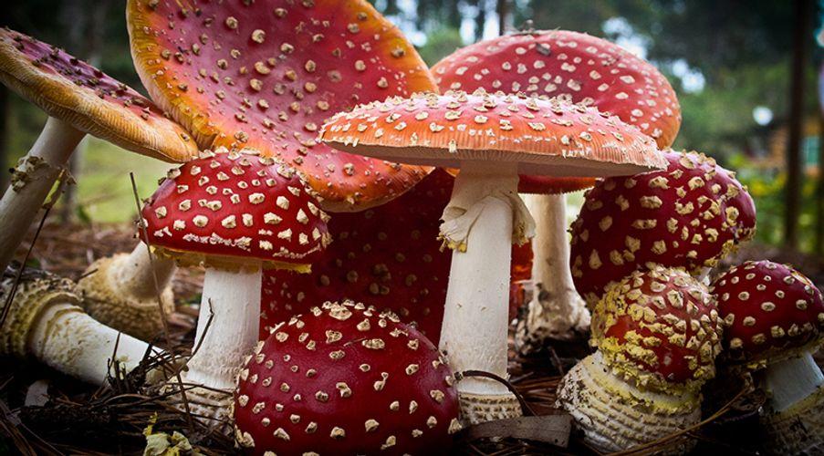 Santa Claus Is the Product of Magic Mushrooms?