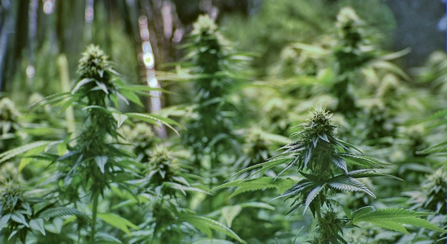 Israel Looking to Legalize Medical Marijuana Exports