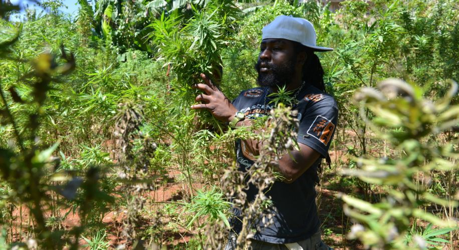 Jamaican Cannabis Licensing Authority Received 236 Applications In Past Year