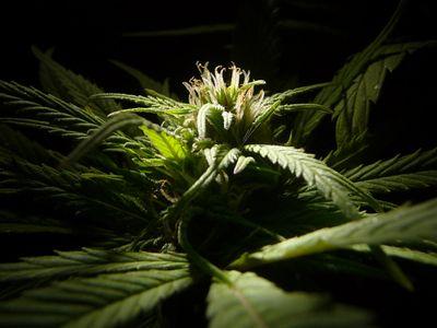 1541018276354_cannabis.jpg