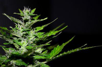 1541018299717_cannabis-2761102_960_720.jpg