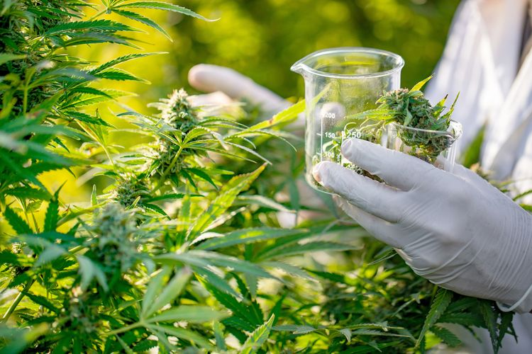 Has the US Government Been Supplying Hemp Instead of Marijuana for Research?