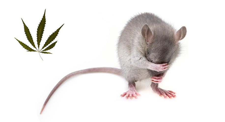 That Study Where Mice Died From CBD Is Bullshit