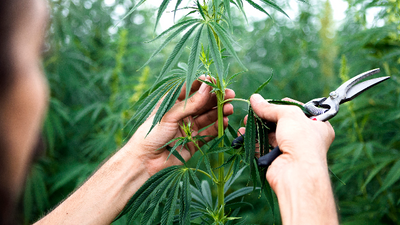 1563394486561_cannabis-cultivation-in-the-technology-era-311650.png