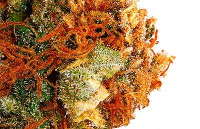 1566938899717_Cannabis-Harlequin-Strain-Review.jpg