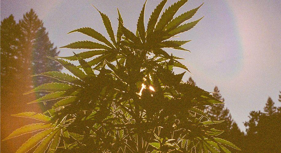August Magic in the Ganja Garden: Ten-Foot Pot Plants and Pungent Aromas