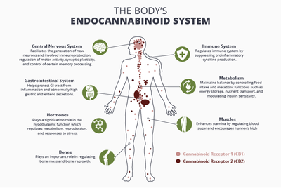 1570224021994_How_the_Endocannabinoid_System_Works.png