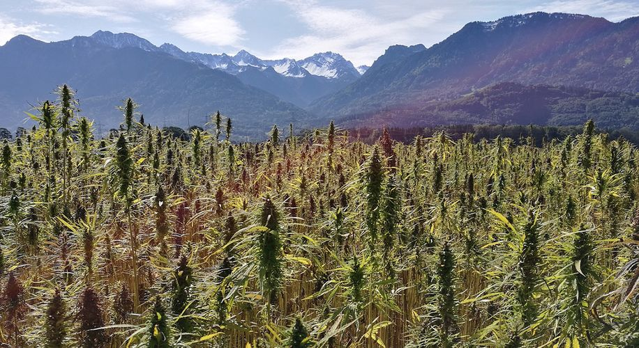 Thieves Keep Mistakenly Stealing Hemp Crops, Thinking They're Full-Strength Weed