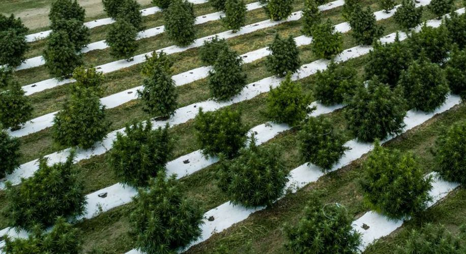 Croptober Catastrophe: Colorado's Largest Pot Grower Loses Millions Due to Frost