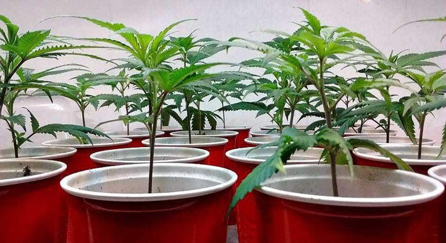 The Art of Growing: How Do You Clone Weed?