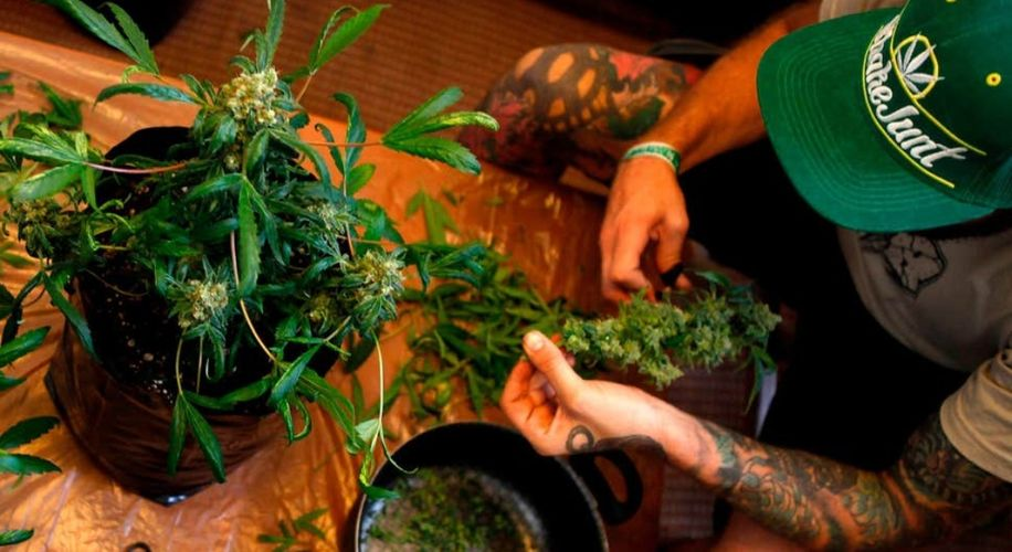Thailand's Home Growers Will Supply the Government with Weed