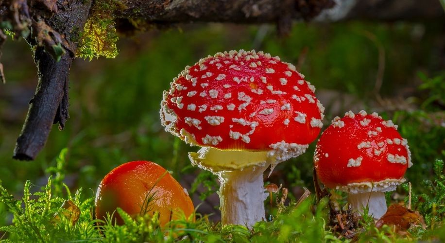WTF Is an Amanita Muscaria Mushroom and Does It Get You High?
