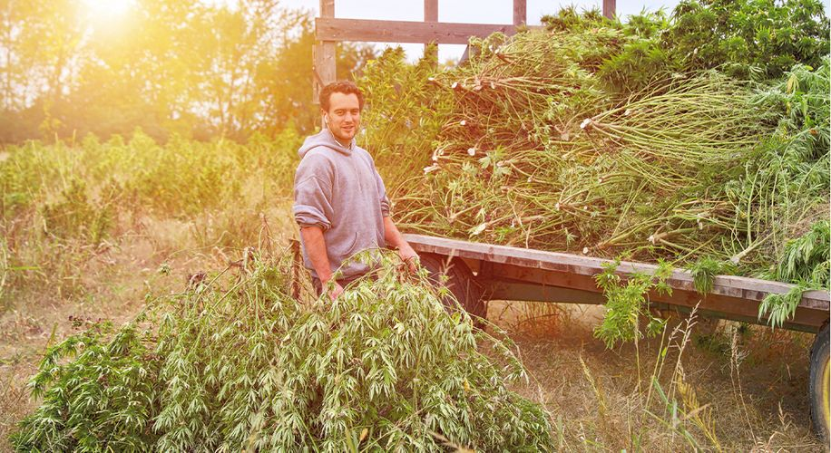 Over 40% of Arizona's Latest Hemp Crop Will Be Destroyed for Having Too Much THC