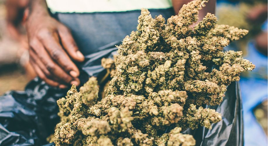 Oregon Grew a Record 5.7 Million Pounds of Weed in 2019