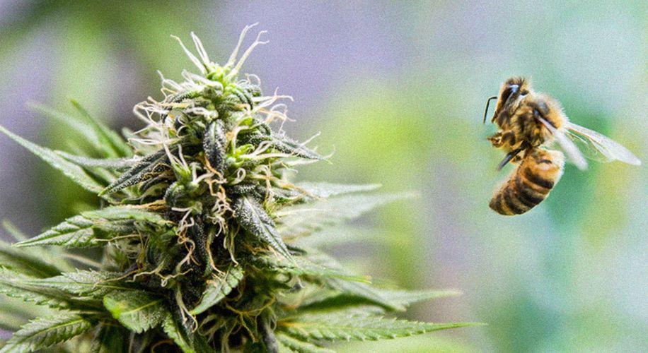 Expert Beekeeper Says Hemp Plants Can't Save Bees, But Pot Farmers Can Still Help