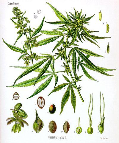 1581375610386_Cannabis_sativa_Koehler_drawing-854x1024.jpg