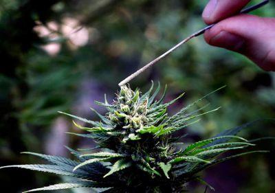 1581375754993_coca-cola-cannabis.jpg