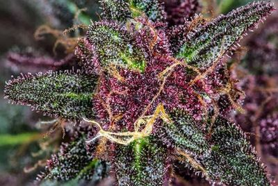 1584746808391_colorful-weed-strains-brighten-your-day-black-beauty.jpg