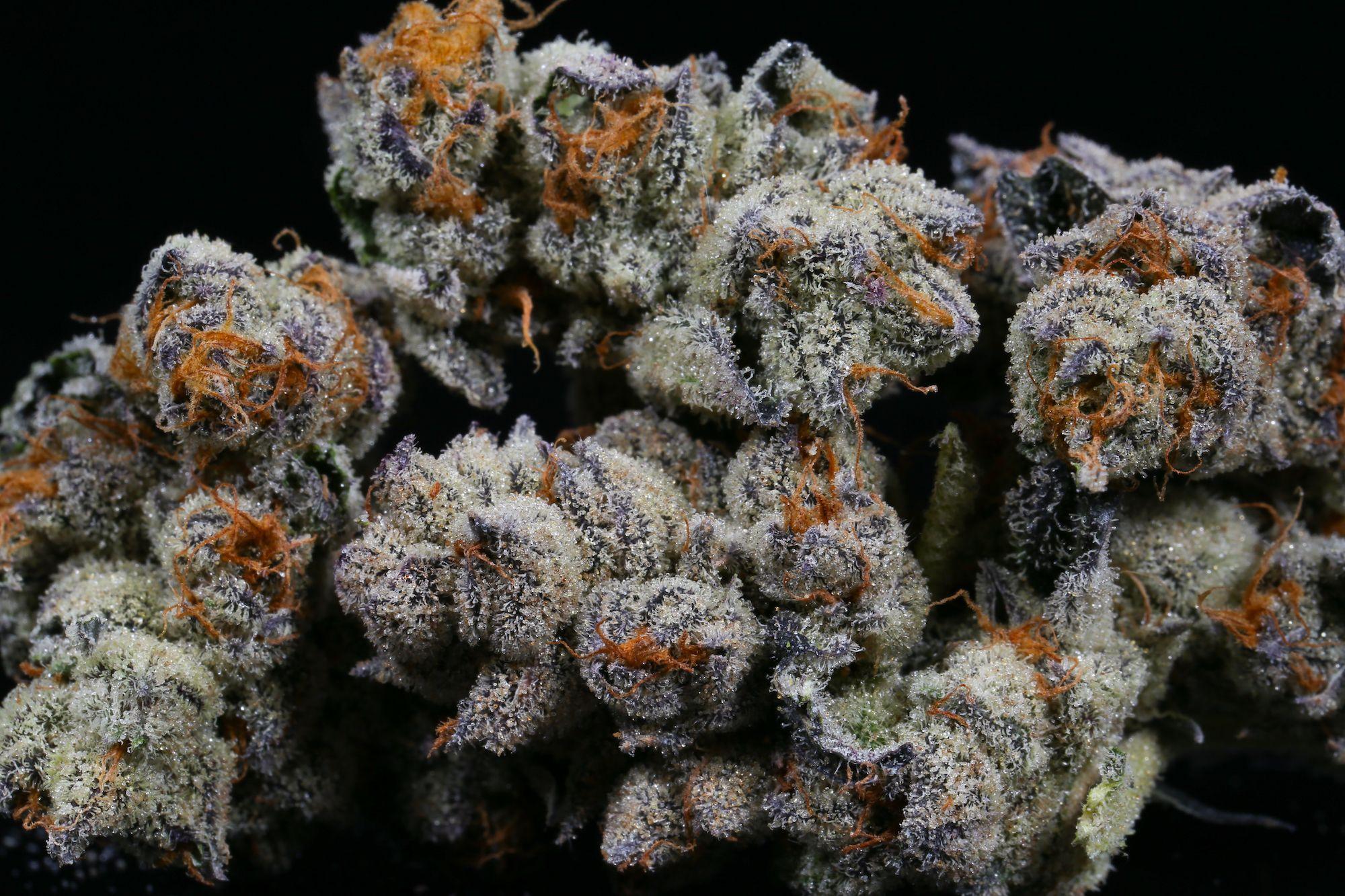 1590441699538_purple-punch-weed-strain-larry-og-grandaddy-purple-the-village-best-weed-ever-denver-dispensary-herbal-cure-9.jpg