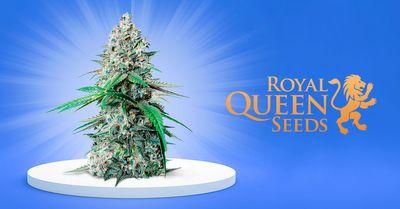 1608236513106_1.cookies-gelato-by-royal-queen-seeds.jpg