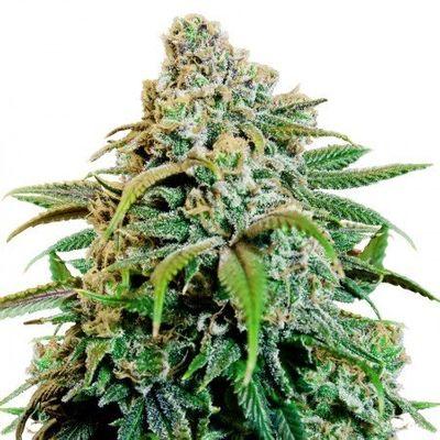 1614820370968_Buy-Canna-Tsu-Feminized-Marijuana-Seeds.jpg